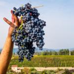 Vino: in Sicilia  11,3% produzione in 2020, prevista grande annata 2021